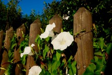 White Morning Glory Growing By...