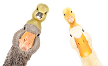 Funny Portrait Of Goose And Duck With Gosling And Duckling On The Head Isolated On White Background