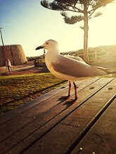 Seagull In Sunlight