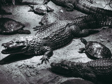 High Angle View Of Alligators ...