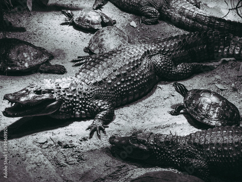 High Angle View Of Alligators And Tortoise Walking On Sand Canvas Print
