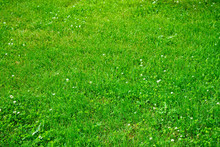 Lawn With Green Clover Blossom