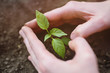 hands close-up in the shape of a heart hold a small sapling of a tree or a plant sprout against the background of soil or earth. Concept love of nature, ecology, spring, new life, Earth Day