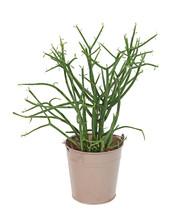 Euphorbia Tirucalli En Pot