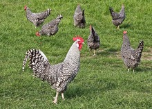 Barred Plymouth Rock Chicken In Field