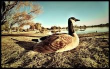 Canada Goose On Lake Shore