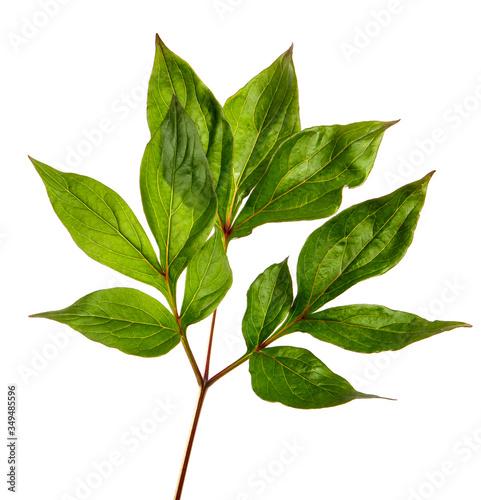 Fototapeta green peony leaves on a white background obraz na płótnie