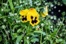 Two Flowers Pansies With Littl...