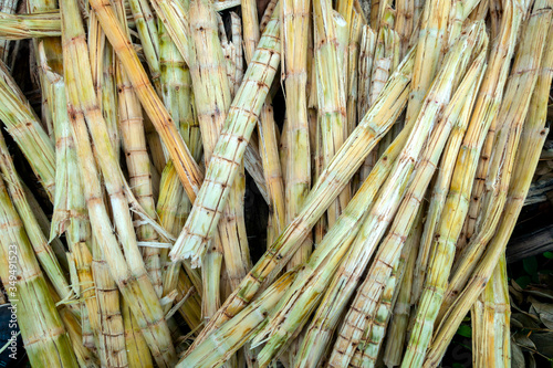 Bagasse is the part of the sugar cane stalk that has been taken out of sugar cane juice or sugar Canvas Print