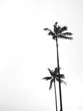 Silhouette Of Two Wax Palm Tre...