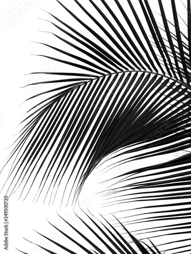 beautiful palm leaf silhouette on white background Wall mural