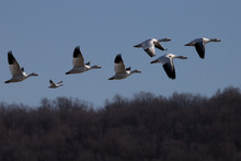 A Group Of Migratory Snow Gees...