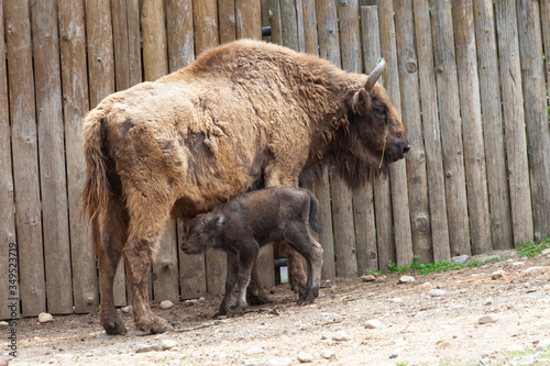 Vászonkép bison with a teenager near a wooden wall