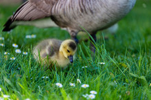 Canada Goose With Gosling On G...
