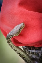 Snake On Red Fabric