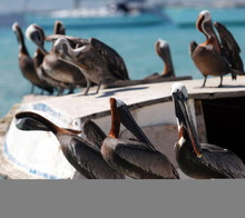 Brown Pelicans Perching On Boat By Sea