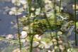 Zbliżenie zielonej żaby pływającej w stawie.