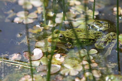 Obraz Zbliżenie zielonej żaby pływającej w stawie. - fototapety do salonu