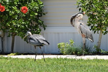 Great Blue Herons With Fresh F...