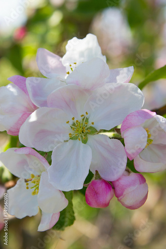 Fototapeta Closeup of branch apple tree obraz na płótnie