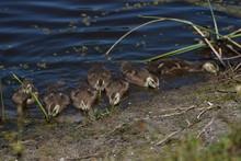 Baby Ducks Feeding.