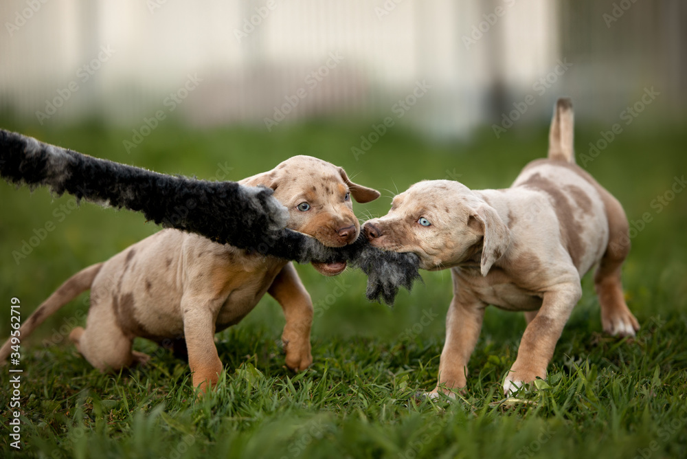 Fototapeta two happy puppies playing together and biting a toy outdoors