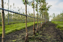 Using Drip Irrigation In A Young Apple Tree Garden