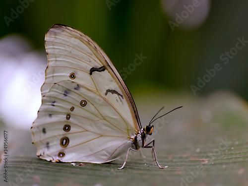Obraz na plátně Closeup Polyphemus white morpho viewed of profile
