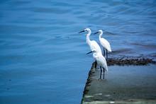 Eastern Great Egret Standing N...