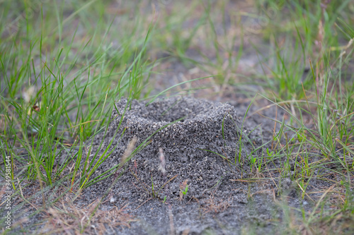 Photo closeup anthill in a grass, outdoor wild background