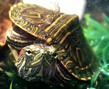 Close-up Of Red Eared Slider T...