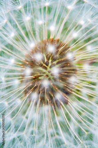Fototapety, obrazy: Detail of a Dandelions seedhead (Taraxacum officinale) showing a beautifull natural pattern.