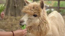 Alpaca Chewing Glass, Feeding ...