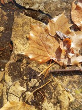 Close-up Of Dry Maple Leaf On Rock