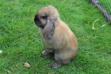 Lop Eared Rabbit On Hind Legs