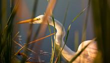 Snowy Egret Stalking Through T...