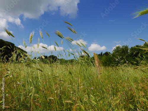 Fototapeta bucolica vista di campi di spighe di grano al vento in campagna