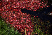 Cranberries Floating In Water Along A Bog