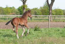 Cute Small Brown Foal Running ...