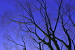 canvas print picture - Low Angle View Of Bare Tree Against Blue Sky