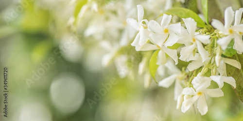 Sweetly scented white flowers of star jasmine or false jasmine climbing vine Wallpaper Mural