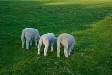 Three Cute Baby Lambs Eating G...