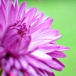 canvas print picture - Close-up Of Pink Flower Blooming