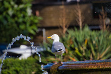 Seagull At Water Fountain