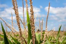 Corn Tassels During Summer Pollination