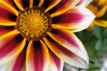 Close-up Of Red Gazania Bloomi...