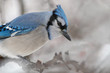 Blue jay (Cyanocitta cristata) in snowstorm; Maryland