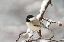 Carolina Chickadee (Poecile Carolinensis) In Snowstorm;  Maryland