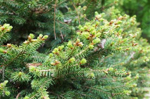 Picea Abies pine tree. Wallpaper Mural