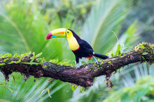 Keel-billed Toucan Or Rainbow-billed Toucan  (Ramphastos Sulfuratus), Sitting On A Branch In The Rainforest, Laguna Del Lagarto, Costa Rica.